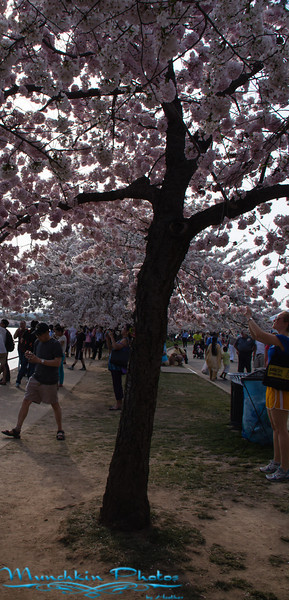 Cherry Blossoms 2013