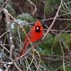 Cardinal, Adult Male