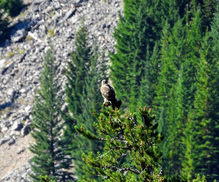 Red-Tailed Hawk, YNP