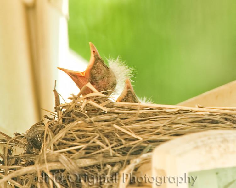 028 Baby Robins Spring 2013.jpg