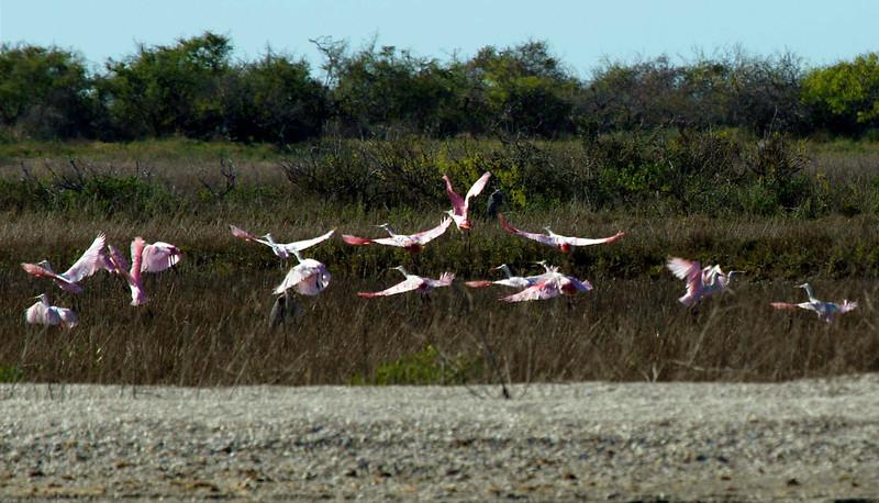 Fifteen roseate spoonbills take flight in the distance.