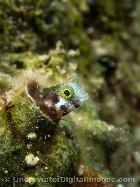 Secretary Blenny-319.jpg