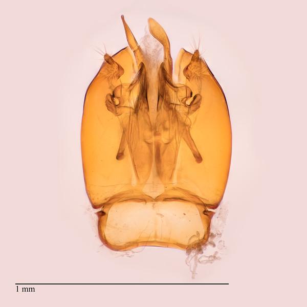 Homalictus Fijiensis