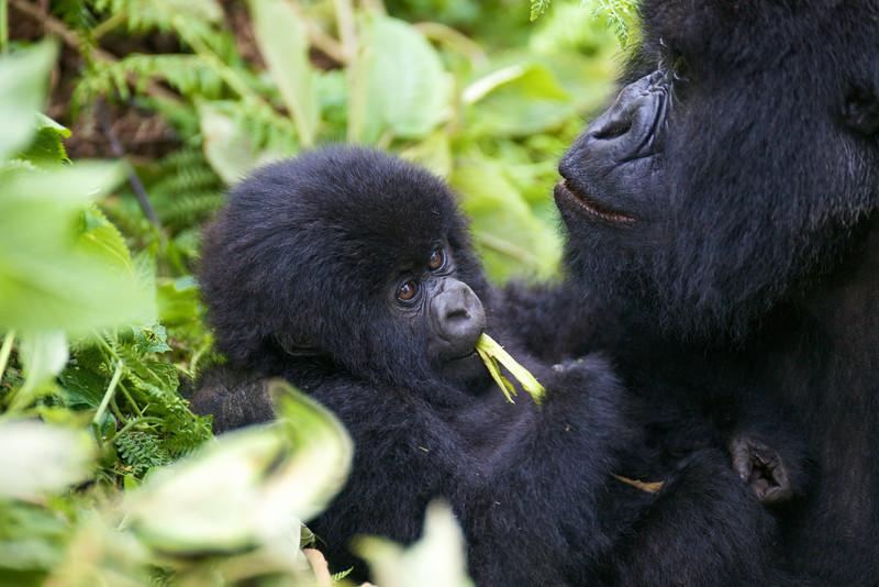 Gorillas  8431.jpg
