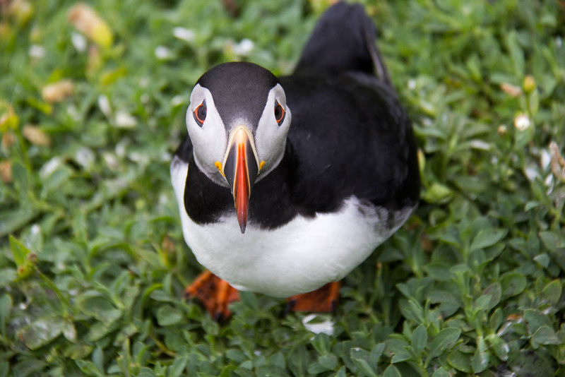 Atlantic Puffin on Skellig Michael Island