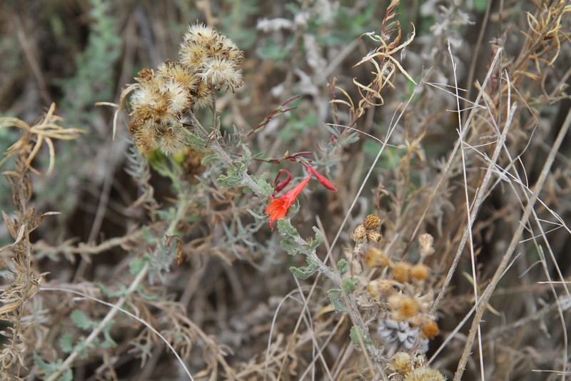 California Fuchsia (flowering), and Coastal Goldenbush, Isocoma menziesii (seeding)
