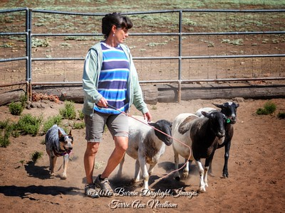 7/1/16 Herding Dog Training Center