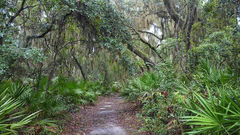 Oak above palmetto-lined footpath