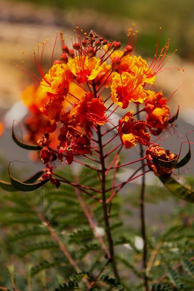 Mexican Bird of Paradise (Caesalpinia pulcherrima)