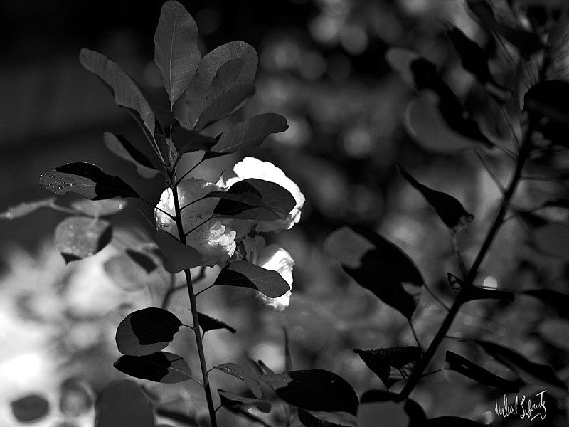 rose and blood plant #2 b&w 2020