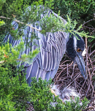 Herons with Eggs and Babies