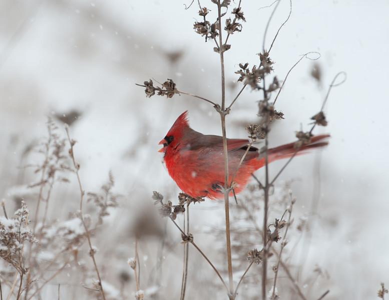 Orange Cardinal