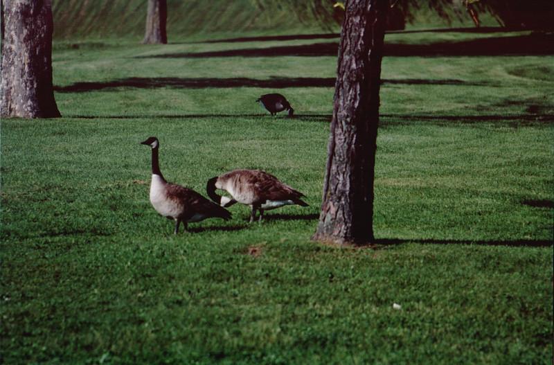 Pair of Geese.jpg