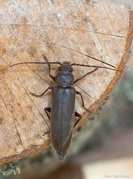 Arhopalus rusticus, kännusikk