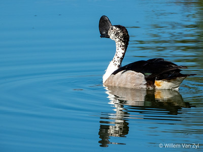 Knob-Billed Duck (Sarkidiornis melanotos)