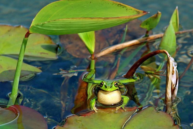 Golden Bell Frog calling -Litoria aurea.jpg