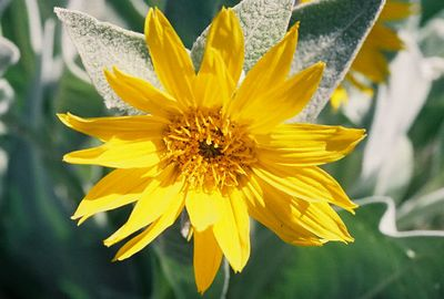 PLANTS: ASTERACEAE (Sunflower Family)