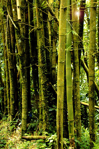 Puerto Rico Bamboo  1 .jpg