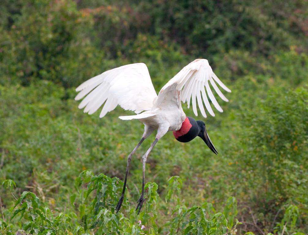 Jabiru Stork Pant_06-08-15_0013