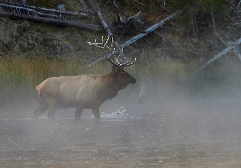 Elk stag