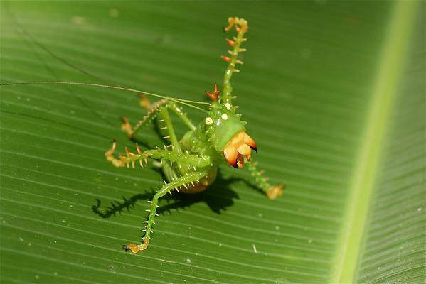 Grasshoppers, Crickets, Katydids (Orthoptera)