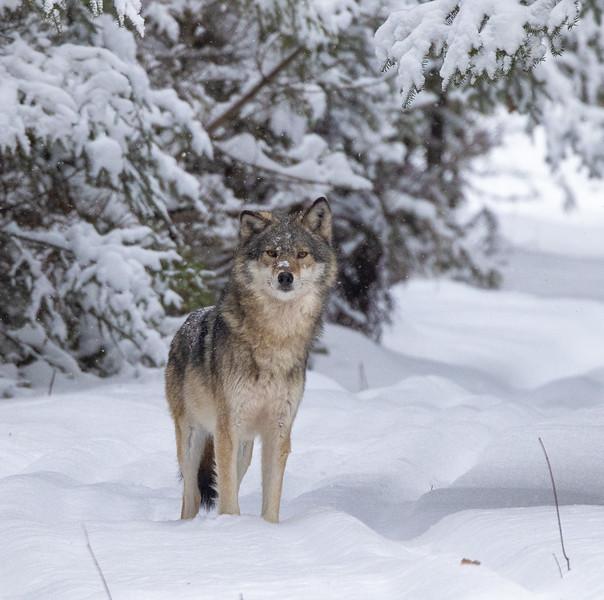 Timber Wolf CR52-Arkola Road just west of Cotton Sax-Zim Bog MN  IMGC5973.jpg