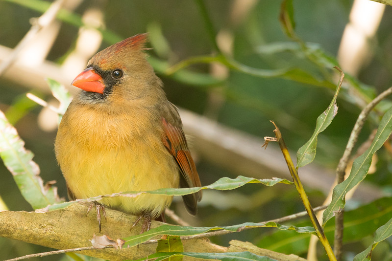 Northern Cardinal So. FL 2020-1.jpg