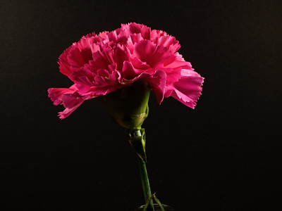 Carnations_Shoot 2