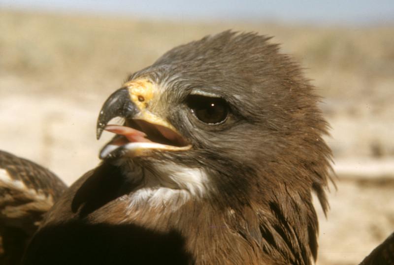 Swainson's Hawk (Buteo swainsoni), Cache Junction, Cache Co., Utah, 150