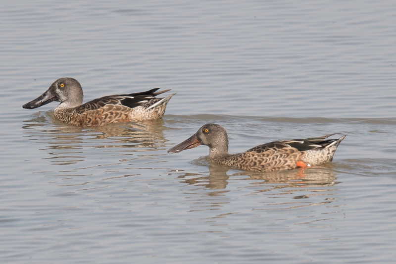 Pair of Northern Shovelers