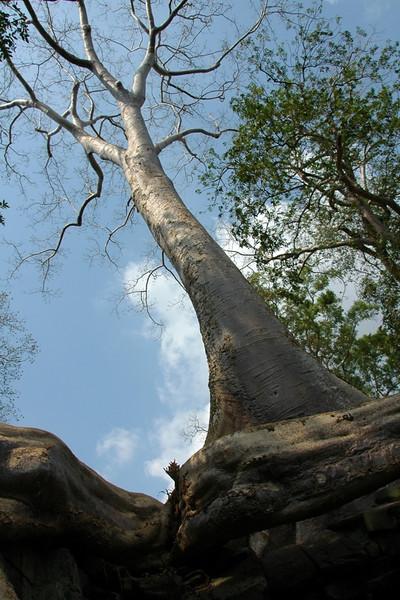 Tree - Ta Prohm, Cambodia