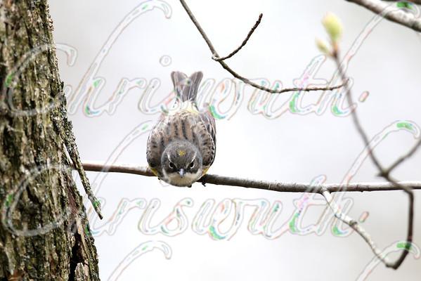 Myrtle warbler (Setophaga coronata coronata)