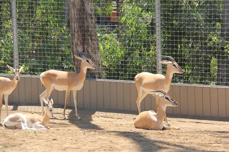 20170807-052 - San Diego Zoo - Antelope.JPG