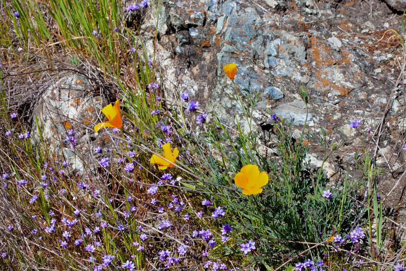 Poppies, serpentine rock, and little purple flowers.