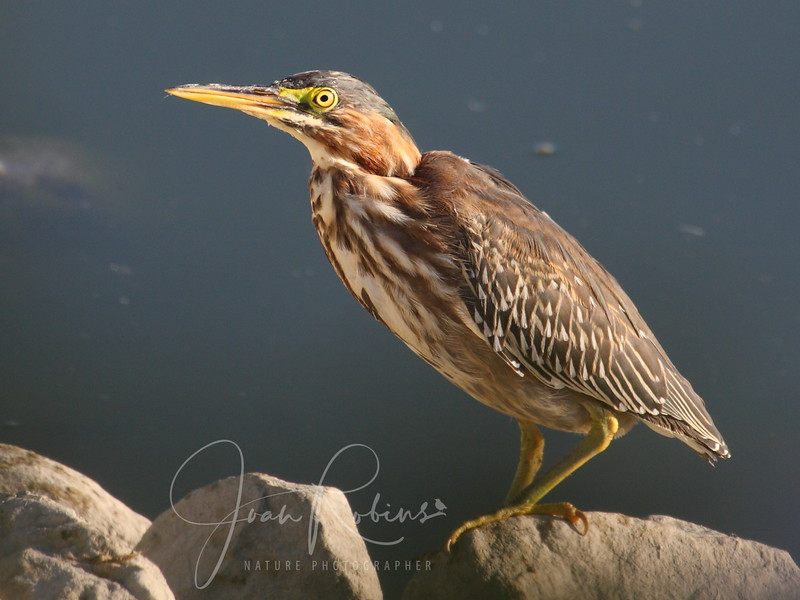 August 12, instead of the adult Green Heron, this young one (notice the spotted feathers) was in the usual spot!