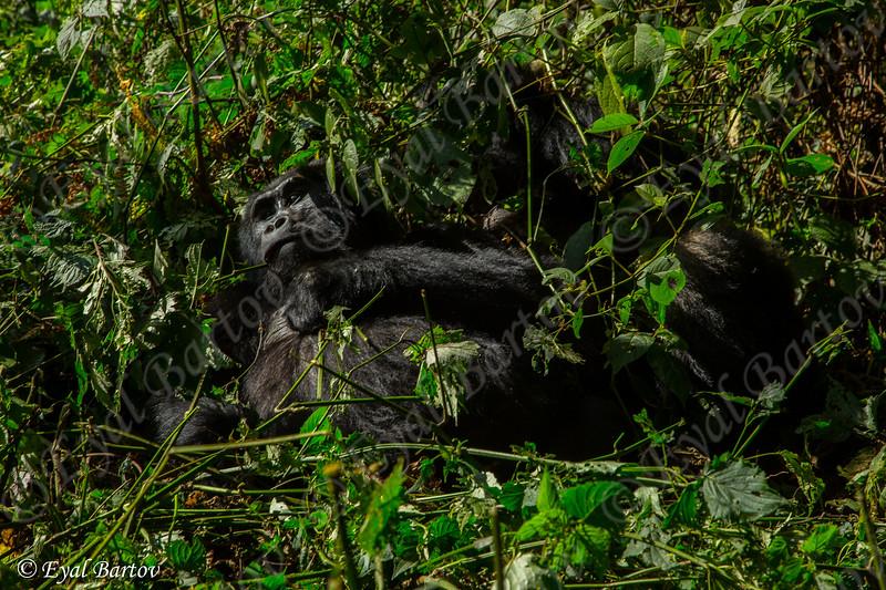 Mountain Gorilla (Gorilla beringei beringei) גורילת הרים