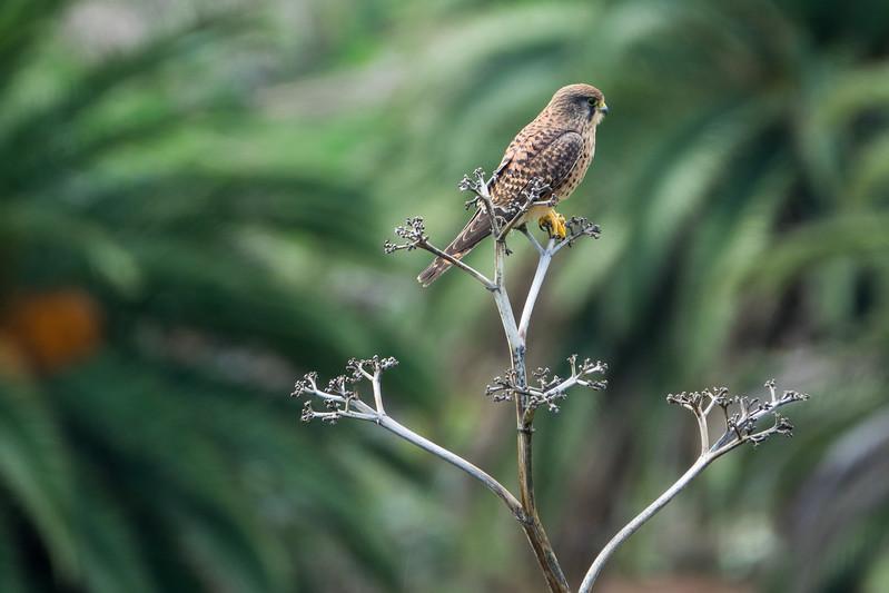 Falco tinnunculus, Tornfalk, Eurasian Kestrel