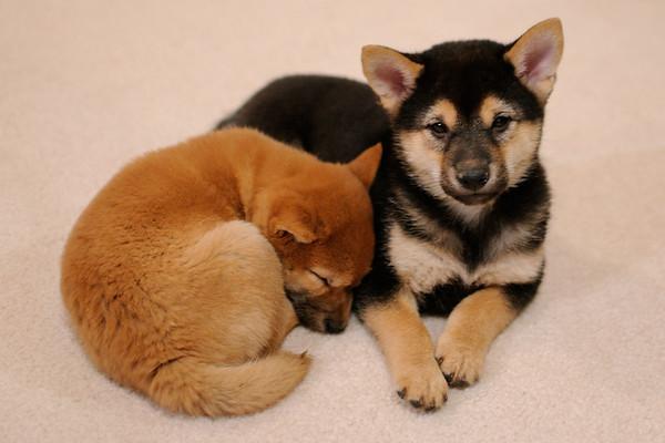 Sadie and Jude puppie pics