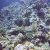 C'est poissons bleus et jaunes sont des... rougets(-barbets)... dans la taxonomie, y a des fois, faut pas chercher à comprendre.
