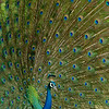 Mating display of a peafowl