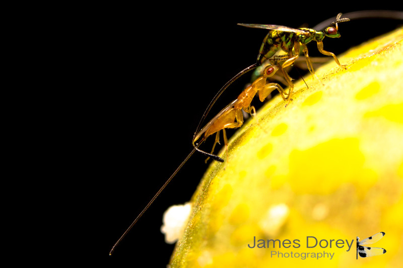 Fig wasp parasitoid and hyperparasitoid: Sycoscapter sp. 1 and Watshamiella sp. 1