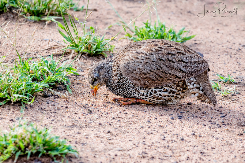 Crested Francolin - South Africa