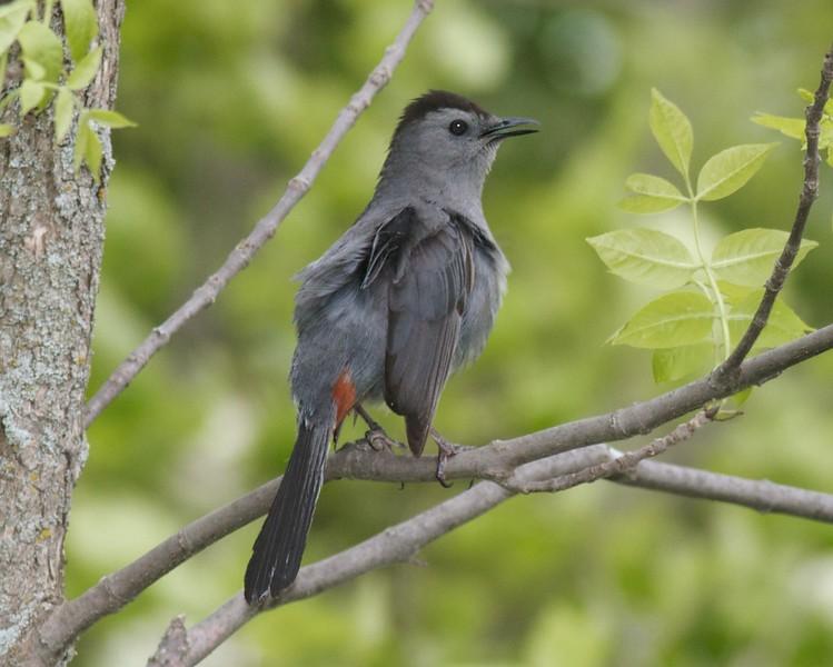 Gray Catbird Wisconsin Pt Superior WI IMG_0057447.jpg