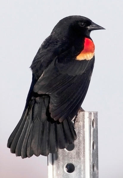 Red-winged blackbird on a post in the Willow Waterhole, Houston