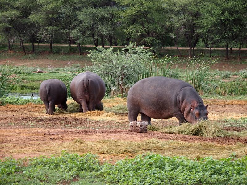 P3281196-hippos.JPG