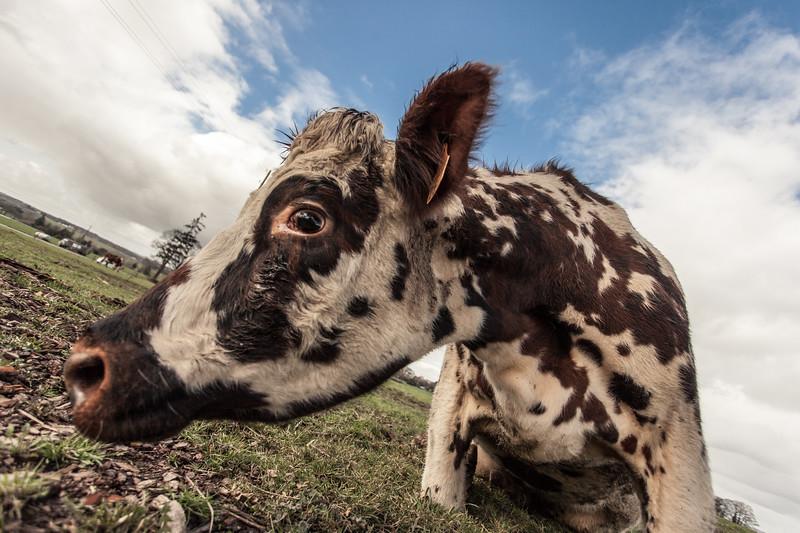 vache (13 sur 21).jpg