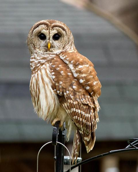 owl on feeder.jpg