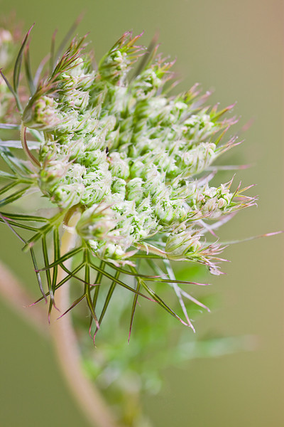 Queen Anne's Lace - Roadside Beauty, 17