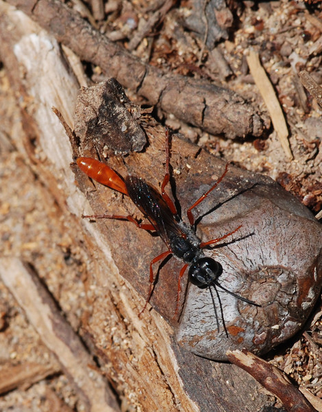 Spider Hunting Wasp, Camargue South of France 2009 ak