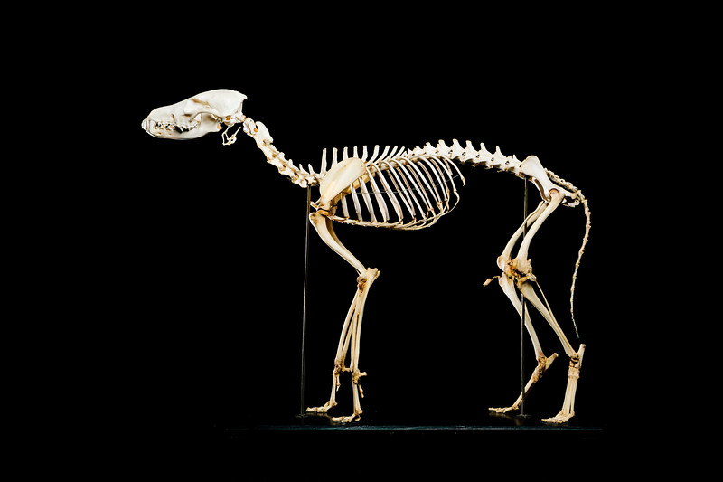 Coyote skeleton